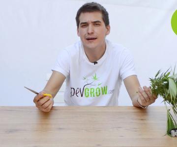 🌲 Cuándo Cosechar y cómo Manicurar nuestra planta de Cannabis