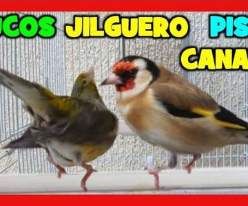 TRUCO para que JILGUERO PISE a CANARIA 🐤 CRIA DE MIXTO DE JILGUERO Y CANARIA 4